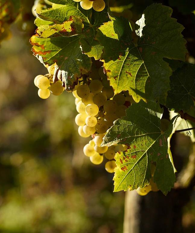 schmitt-soehne-grapes-moselle-german-wine_1280